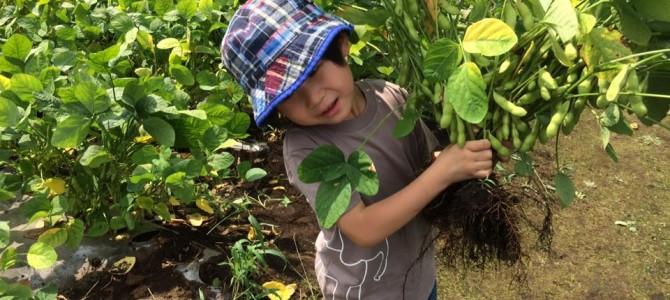 枝豆の収穫を体験!